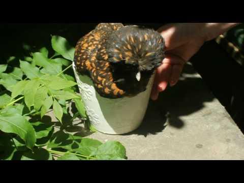Scaly Leg Mite Treatment for Organic Poultry. Tratar ácaros escamoso. Gale des pattes