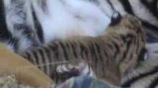 2nd video of Auckland Zoo tiger cubs at 10 days old