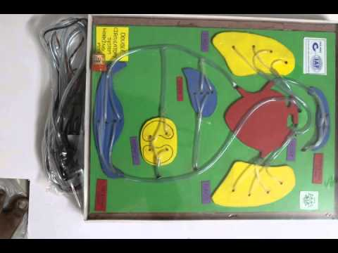 DOUBLE CIRCULATORY SYSTEM WORKING MODEL