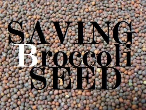 How to Save Broccoli and Other Brassica Family Seeds EZ | MIgardener