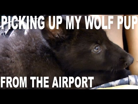 Picking up my Wolf pup from the airport! Our first time meeting! ~~~