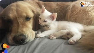 Spoiled Dog Welcomes Rescue Kitten Into Her Family | The Dodo