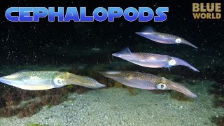 Super Suckers:  Cephalopods! | JONATHAN BIRD