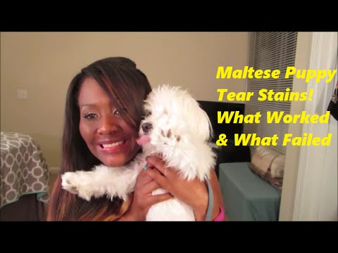 Puppy Series #2 HOW I TREAT MALTESE TEAR STAINS, WHAT WORKED & WHAT FAILED!