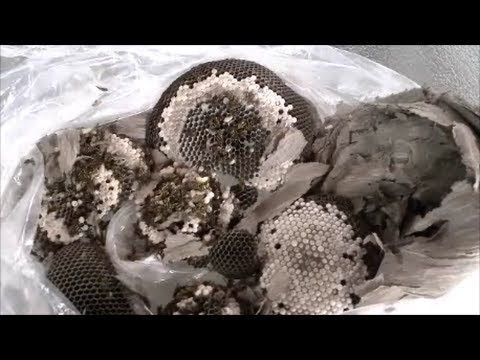 How To Safely Remove A Wasp Nest