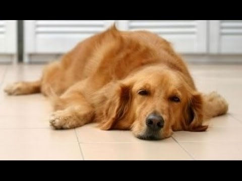 Home Remedies to Get Rid of Kennel Cough