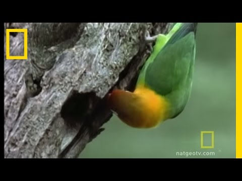 Lovebirds | National Geographic