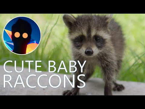 CUTE BABY RACCOONS AND THEIR MOM