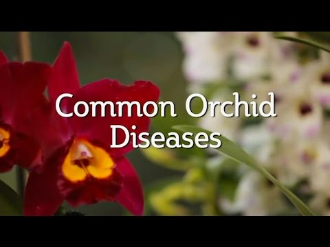 Common Orchid Diseases