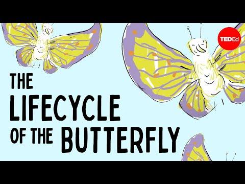 The weird and wonderful metamorphosis of the butterfly - Franziska Bauer