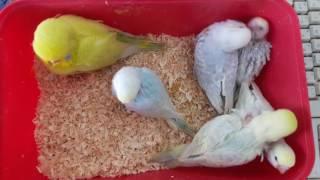 Волнистые птенцы: от 28 до 21 дня от вылупления