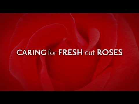 Proper Care for Your Fresh Cut Roses to Help Them Live Longer