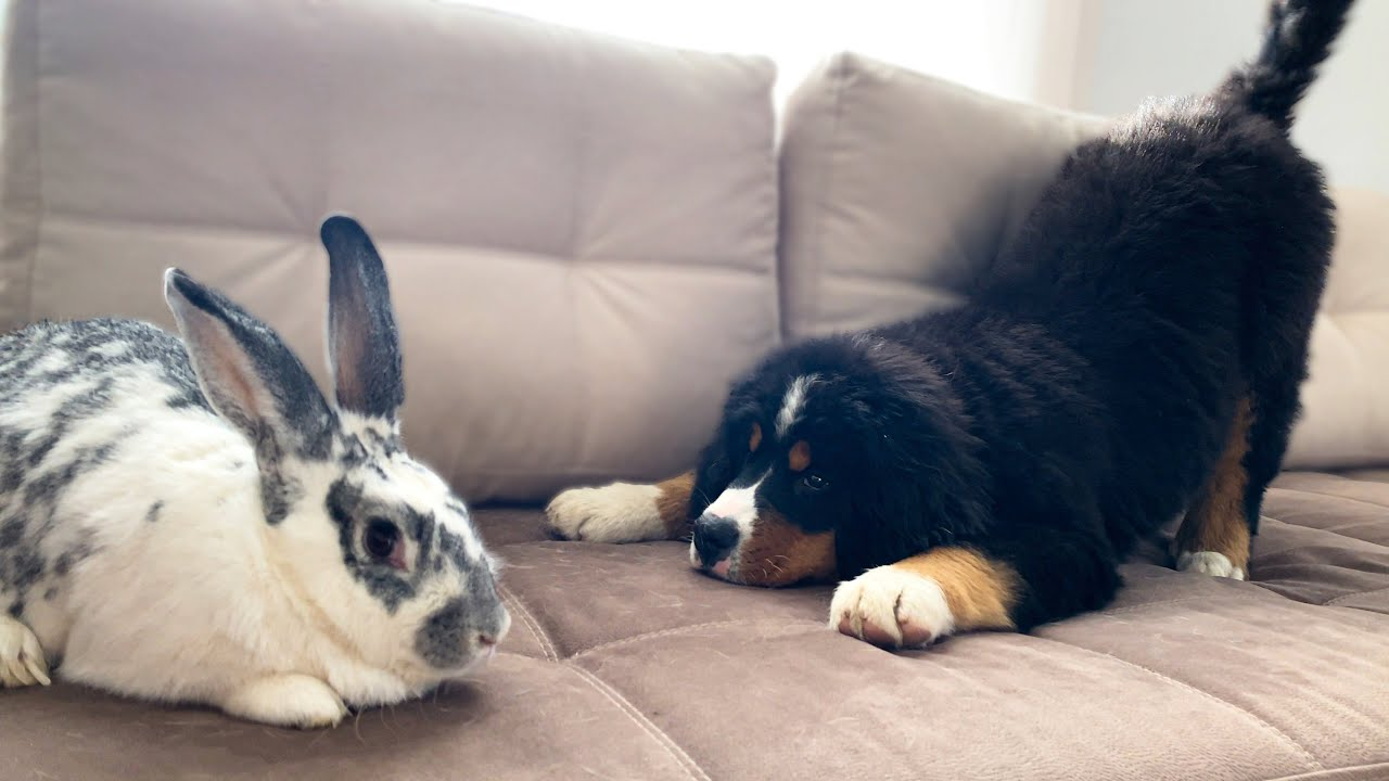 Bernese Mountain Dog Puppy Meets Giant Rabbit!