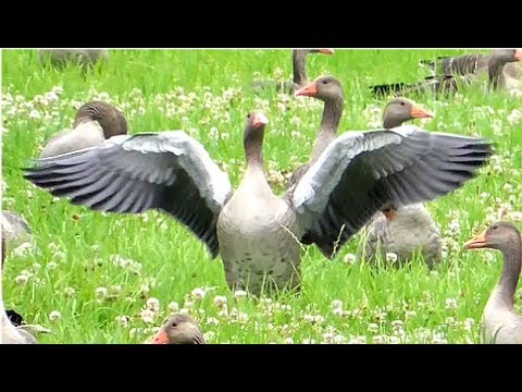 A big flock of Greylag Geese adorning a white clover meadow