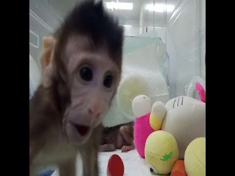 Scientists have cloned monkeys and it could help treat cancer