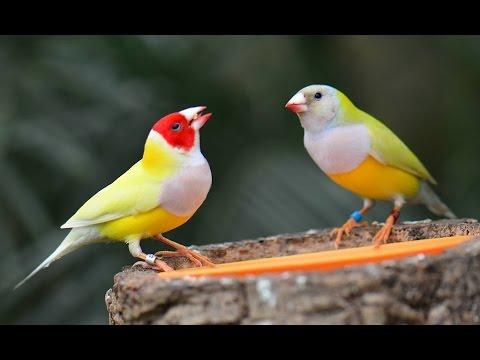 Birual — Gouldian finch