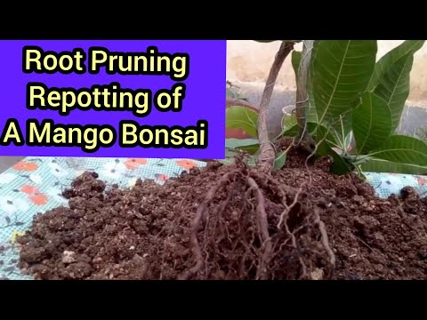 How to grow MANGO TREE bonasai from seeds /How to repot and prun its roots in (Hindi and Urdu)