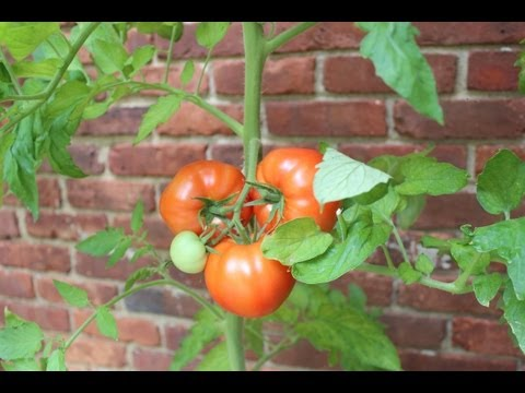 How to build a simple garden trellis for tomato plants by Jon Peters