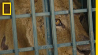 See How Syrian Zoo Animals Escaped a War-Ravaged City | National Geographic