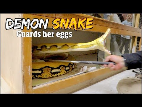 20 foot Giant reticulated Python turns into a Demon Snake Guarding her eggs - Pt1