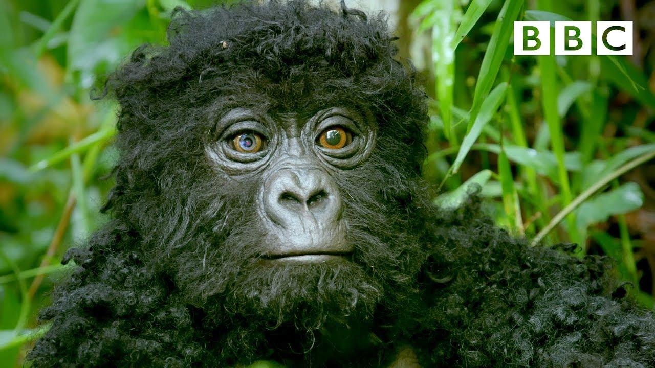 Robot spy gorilla infiltrates a wild gorilla troop 🕵️🦍 | Spy In The Wild - BBC
