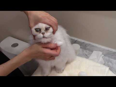 How to Clean the Eyes - Adult Silver Persian