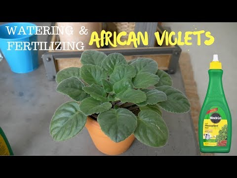 Watering | Fertilizing African Violet using Miracle Gro houseplant fertilizer