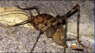 Camel Crickets Invading Tri State Area
