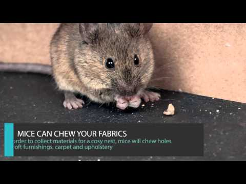 8 GOOD REASONS TO GET RID OF MICE UK - MOUSE CONTROL LONDON - IMPERIAL PEST CONTROL