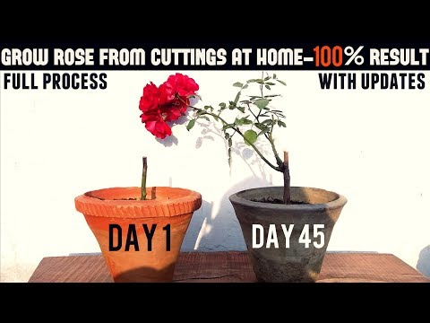 Easiest Way To Grow Rose From Cuttings - Start To Finish