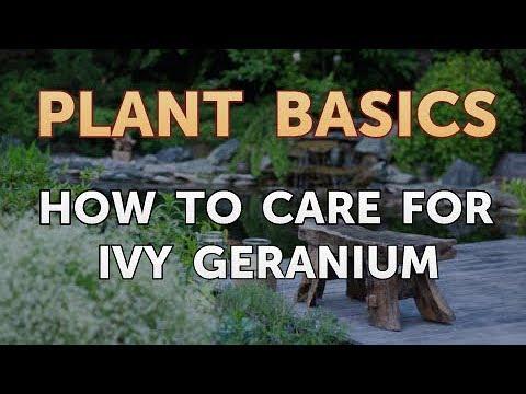How to Care for Ivy Geranium