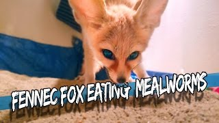 Fennec Fox Eating Mealworms