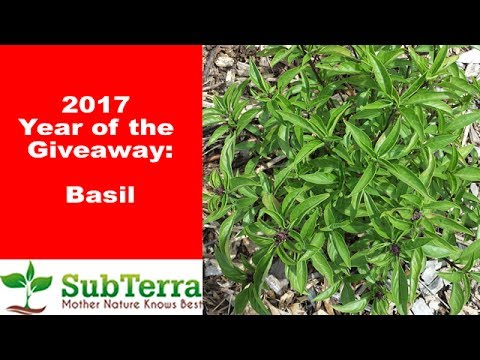 See why Basil is my Favorite Herb to Grow! ** Giveaway video **