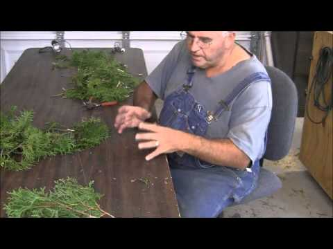 Propagating Emerald Green Arborvitae from Cuttings