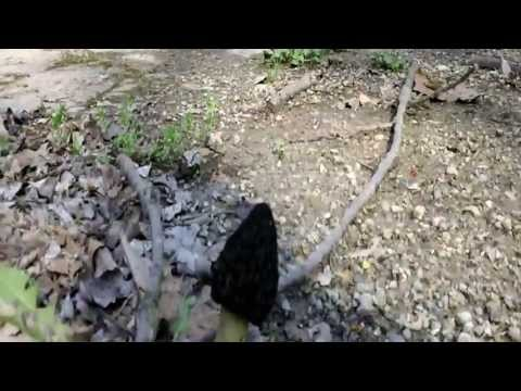 Black Morels Growing Out Of The Pavement Ohio 4-18-13 Pt. 1