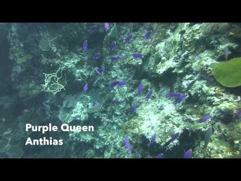 Video Purple Queen Anthias | Pata Negra Dive Center