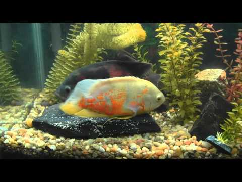 Oscar Fish Laying Eggs While Male Fertilizes Them - See the Eggs Being Laid!