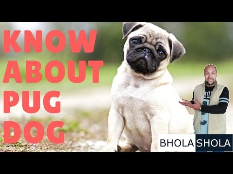 Dog Breed - Know About Pug Dog - Bhola Shola
