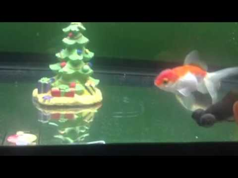 How to keep your goldfish happy