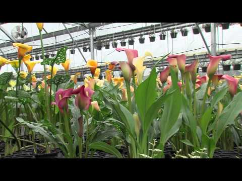 How To Grow Calla Lillies