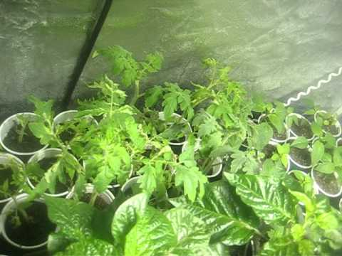 6x6' grow tent, Pepper and Tomatos