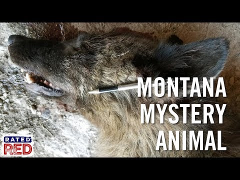 Montana Rancher Kills Mystery Wolf-Like Animal