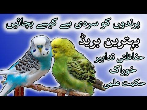 how to protect your birds in winter season? birds ko sardi say kaisa bachain.?Video No.65