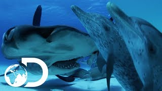 Can A Dolphin Outsmart A Shark?   Sharks VS Dolphins: Face Off   SHARK WEEK 2018