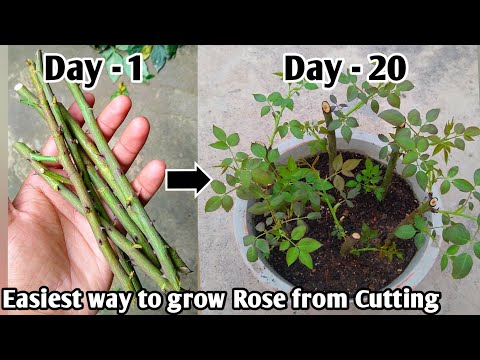 Xxx Mp4 Supper Easiest Way To Grow Rose From Cutting InHindi With Update How To Grow Rose Plant From Cutting 3gp Sex
