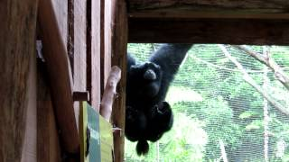 Siamang Gibbons at Auckland Zoo