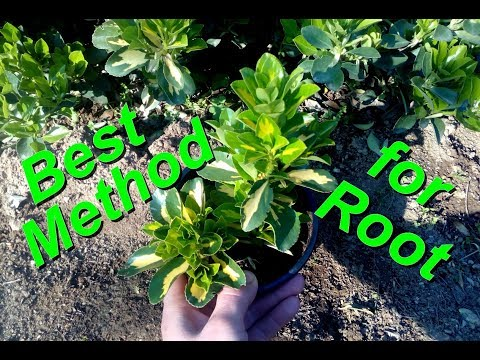The best Method to Root Euonymus /Goldbolwi
