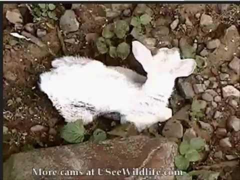 USeewildlife white fawn Deer Run May 26/15