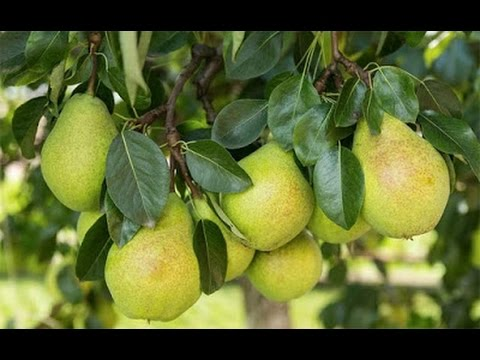 How to Grow Pear trees - Complete Growing Guide