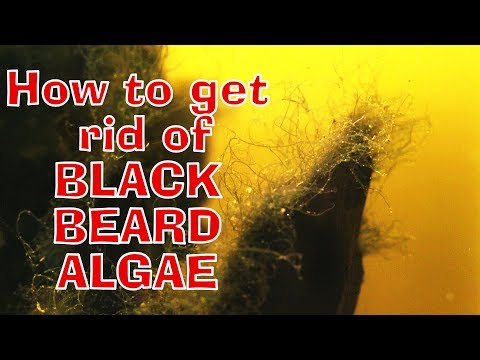 HOW TO GET RID OF BLACK BEARD ALGAE!